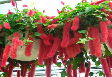 Cultivation Method of Acalypha Species Plants Indoors   Grower's Tip