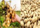 How to Grow Groundnut/Groundnut cultivation method