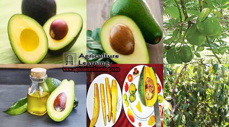 Avocado fruit Production technology in Bangladesh